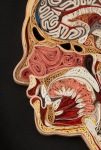 anatomy-11