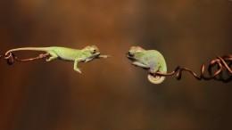 Kameleonnetjes